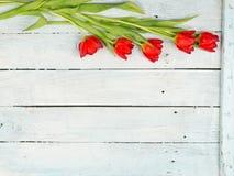 Wiosna z Czerwonym tulipanu tłem Fotografia Stock