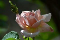 Wiosna z pomarańczowymi różami Zdjęcie Royalty Free