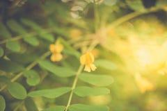 Wiosna zamazujący tło z miękką ostrością Stonowana kwitnąca akacja i bokeh zdjęcie stock