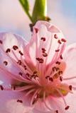 Wiosna zamknięta piękny nektaryny drzewa menchii kwitnienia kwiat z płatkami i zielony odgałęzienie w miękkim świetle up zdjęcia royalty free
