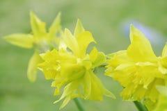 Wiosny świeżość Daffodil kwiaty na zamazanym zielonym tle zdjęcia stock