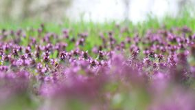 Wiosny łąka kwitnie na chmurnym ranku zbiory wideo