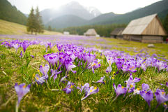 Wiosny łąka w górach krokus pełno kwitnie w kwiacie Obrazy Stock