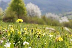 Wiosny łąka z dandelions, natura zdjęcia stock