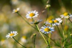 Wiosny łąka z stokrotkami Obraz Royalty Free
