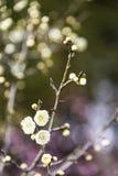 Wiosny śliwkowy okwitnięcie rozgałęzia się Białego kwiatu Zdjęcie Royalty Free