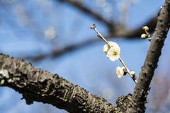 Wiosny śliwkowy okwitnięcie rozgałęzia się Białego kwiatu Fotografia Royalty Free
