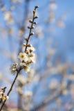 Wiosny śliwkowy okwitnięcie rozgałęzia się Białego kwiatu Obraz Stock