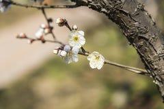 Wiosny śliwkowy okwitnięcie rozgałęzia się Białego kwiatu Zdjęcie Stock
