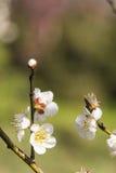 Wiosny śliwkowy okwitnięcie rozgałęzia się Białego kwiatu Zdjęcia Stock