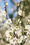 Wiosny śliwkowy okwitnięcie rozgałęzia się Białego kwiatu Zdjęcia Royalty Free