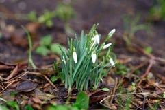 Wiosny śnieżyczka kwitnie w ziemi Obrazy Stock