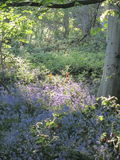 Wiosny światło słoneczne na bluebell drewnie Fotografia Stock