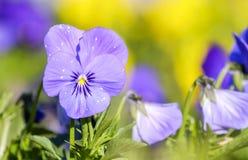 Wiosny altówka w parku 2 Obrazy Royalty Free