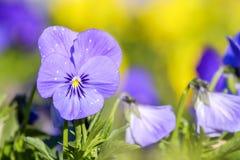 Wiosny altówka w parku 1 Obraz Royalty Free