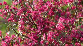 Wiosny Apple drzewo zdjęcie wideo