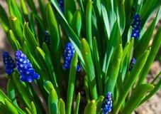 Wiosny błękit kwitnie z zieloną trawą Tło Fotografia Royalty Free