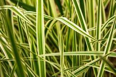 Wiosny błękit kwitnie z zieloną trawą Tło Zdjęcie Royalty Free