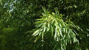 Wiosny bambusowy ulistnienie Phyllostachys genus chlanie w osoba o umiarkowanych poglądach wiatrze, 4K zdjęcie wideo