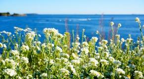 Wiosny biała stokrotka kwitnie z jaskrawym słońca światłem przy wybrzeżem Obrazy Stock