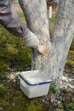 Wiosny białkować owocowy drzewo praca ogrodowa Zdjęcie Royalty Free