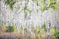 Wiosny brzozy gaj z młodymi liśćmi Obrazy Royalty Free