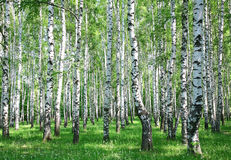 Wiosny brzozy las z świeżymi zieleniami Obraz Stock