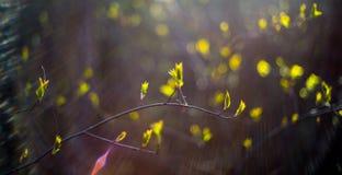 Wiosny brzozy liście Zdjęcie Stock