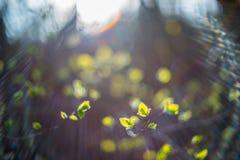 Wiosny brzozy liście Fotografia Stock