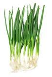 Wiosny cebula Fotografia Stock