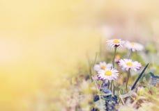 Wiosny chamomile kwitnie w polu świeże trawa zieleni Backgr Obraz Royalty Free
