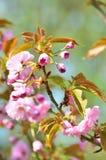 Wiosny czereśniowego okwitnięcia drzewo Zdjęcia Stock