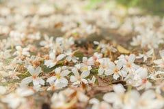 Wiosny czereśniowego okwitnięcia sezon, Busan, Południowy KoreaBeautiful Tung drzewa biały kwiat obrazy royalty free