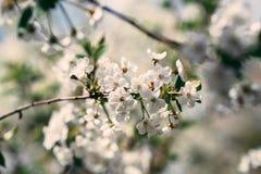Wiosny Czereśniowy okwitnięcie Obrazy Stock