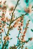 Wiosny Czereśniowy okwitnięcie Obraz Royalty Free