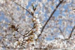 Wiosny czereśniowy okwitnięcie Nowy Jork Obrazy Royalty Free