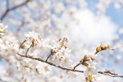 Wiosny czereśniowy okwitnięcie Nowy Jork Obrazy Stock