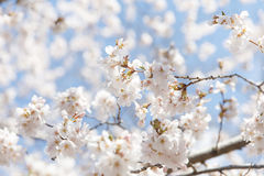 Wiosny czereśniowy okwitnięcie Nowy Jork obraz royalty free