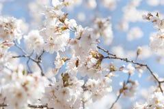 Wiosny czereśniowy okwitnięcie Nowy Jork obraz stock