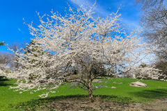 Wiosny czereśniowy okwitnięcie Nowy Jork Zdjęcie Royalty Free