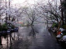 Wiosny czereśniowy okwitnięcie w Zachodnim jezioro parku Fotografia Stock