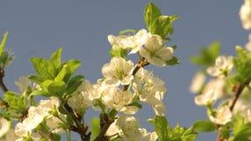 Wiosny Czere?niowy okwitni?cie zbiory wideo