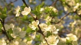 Wiosny Czere?niowy okwitni?cie zdjęcie wideo