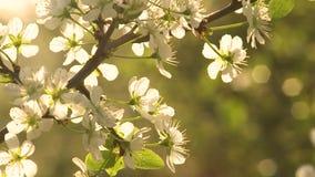 Wiosny Czere?niowy okwitni?cie zbiory