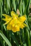 Wiosny Daffodil †'narcyza pseudonarcissus zdjęcia royalty free