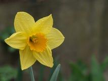 Wiosny Daffodil po deszczu obraz stock