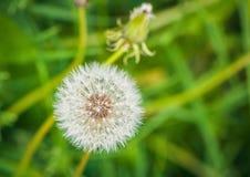 Wiosny dandelion Zdjęcie Stock