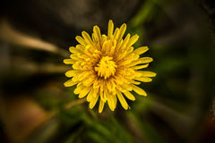 Wiosny dandelion Obrazy Stock