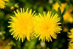 Wiosny dandelion Zdjęcia Royalty Free