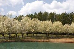 Wiosny drzewa kwiaty obraz stock